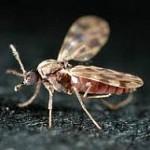 culicoides_imicola