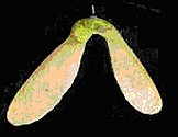 esdoorn-vrucht