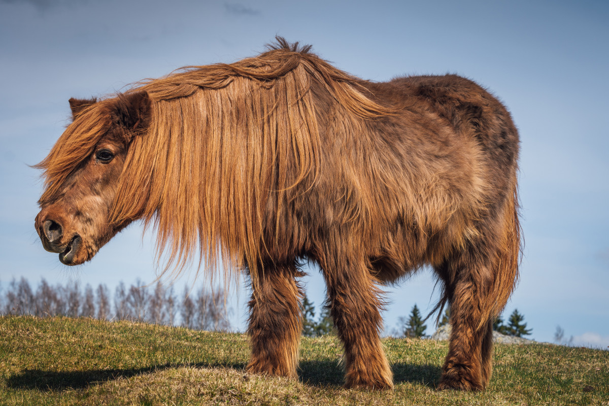 hairy-horse-old-ppid-istock-678623586-2400